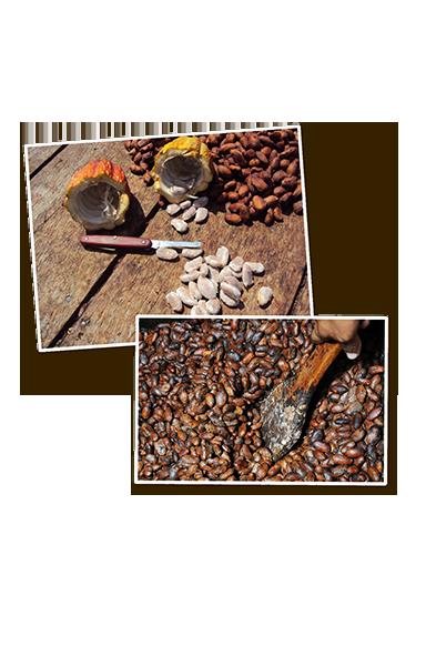 Kakaobohnen fermentieren