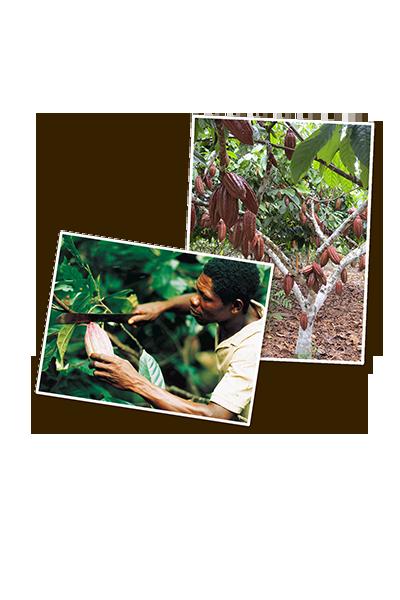 Kakaoanbau und Ernte